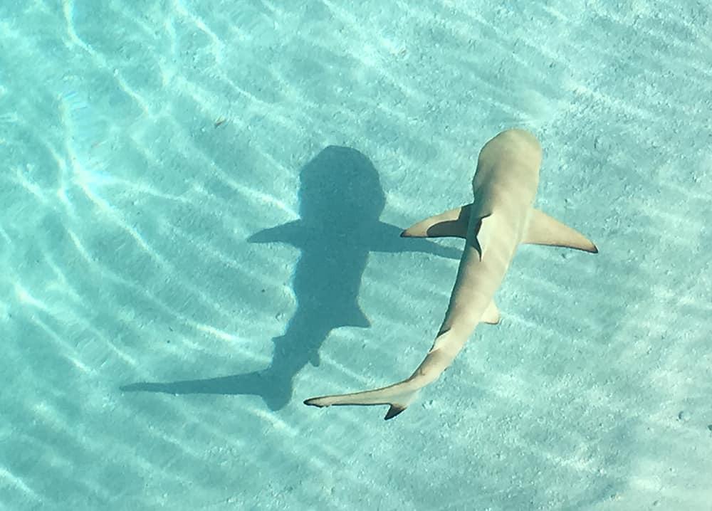 CONRAD MALDIVES: baby shark in the lagoon